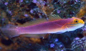 Sleeper Bella Goby (Valencienna bella) - Corals Fish and Beyond