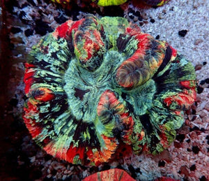 Multicolor Metallic Brain Coral (Trachyphyllia Geoffroyi) 17 - Corals Fish and Beyond