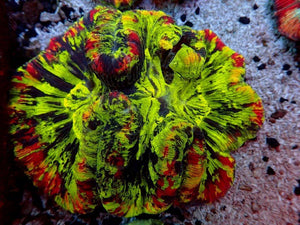 Multicolor Metallic Brain Coral (Trachyphyllia Geoffroyi) 18 - Corals Fish and Beyond
