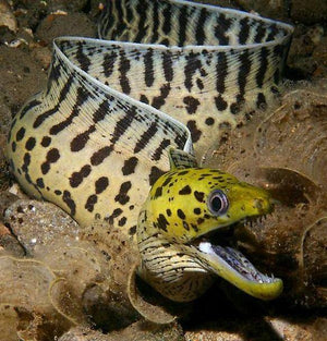 Yellow Head Moray Eel (Gymnothorax fimbriatus)