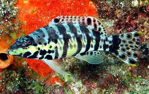 Harlequin Basslet (Serranus Tigrinus) - Corals Fish and Beyond