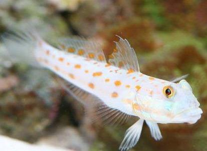 Diamond Watchman Goby (Valenciennea puellaris)