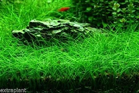 HAIRGRASS DWARF (Eleocharis acicularis)