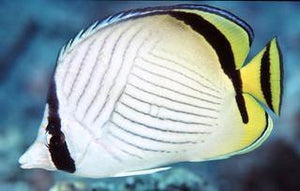 Indian Vagabond Butterfly fish (Chaetodon decussatus)