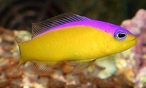 Purple Stripe Dottyback (Pseudochromis diadema) - Corals Fish and Beyond