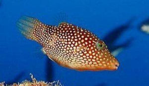 Central American Sharpnose Puffer (Canthigaster punctatissima)