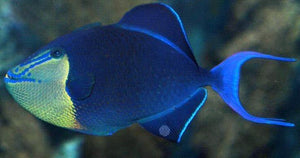 Niger Triggerfish (Odonus niger) - Corals Fish and Beyond