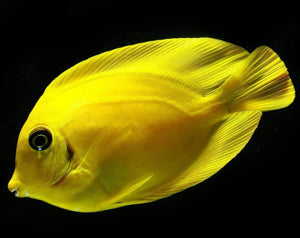 Lemon Tang (Acanthurus pyroferus) - Corals Fish and Beyond