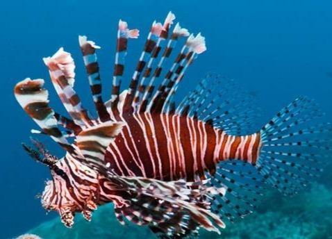 Russell's Lionfish (Pterois russelli)