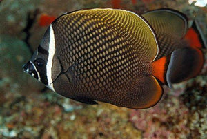 Pakistan Butterfly Fish (Chaetodon Collare)