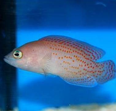 Red Spotted Dottyback (Pseudochromis sp.)