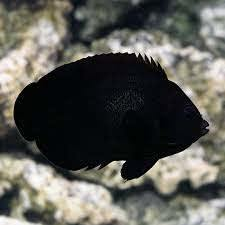 Black Nox Angelfish (Centropyge Nox)