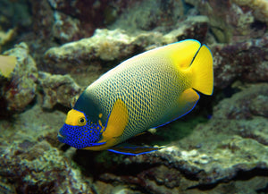 Blue Face Angelfish (Pomacanthus Xanthometapon) - Corals Fish and Beyond