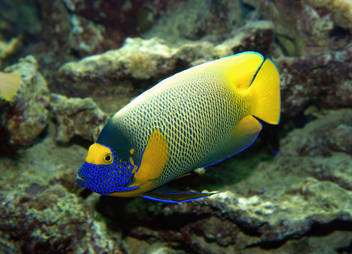 Blue Face Angelfish (Pomacanthus Xanthometapon)