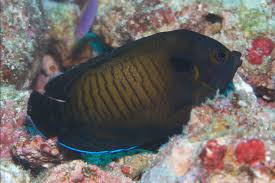 Blue Finned Angelfish (Centropyge Multispinis) - Corals Fish and Beyond