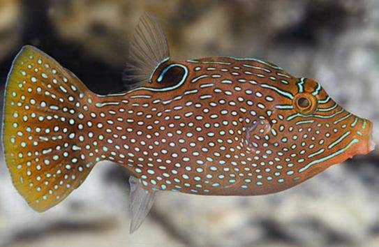 Blue Spotted Puffer (Canthigaster solandri)
