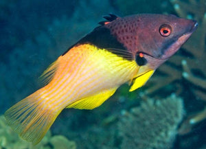 Coral Hogfish (Bodianus mesothorax)