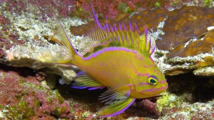 Hawaiian Deep Anthias (Odontanthias Fuscipinnis)