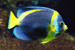 Duboulays Scribbled Angelfish (Cheatodontoplus Duboulayi) *Captive-Bred* - Corals Fish and Beyond