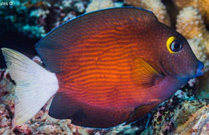 White Tail Bristletooth Tang (Ctenochaetus flavicauda) - Corals Fish and Beyond