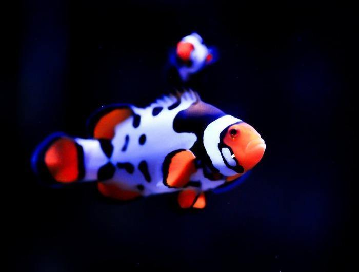 Nebula Clownfish (Amphiprion ocellaris) *Aquacultured*