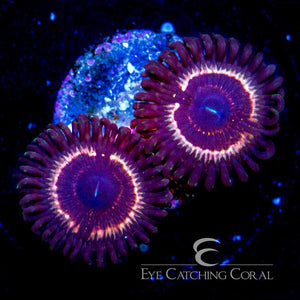 ECC Goosebumps Zoanthid Frag (2 Polyp Average) - Corals Fish and Beyond