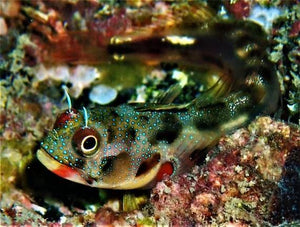Panamic Barnacle Blenny (Acanthemblemaria hancocki)