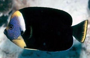 False Personifer Angelfish (Centropyge Meredithii) - Corals Fish and Beyond