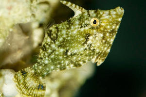 Aiptasia Eating Filefish (Acreichthys tomentosus)