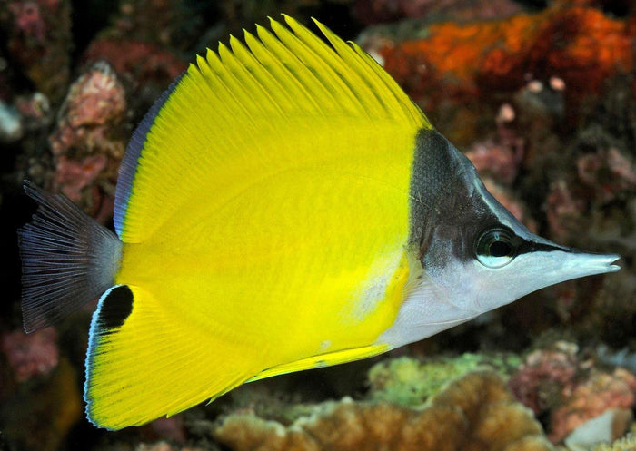 Yellow Longnose Butterfly Fish (Forcipiger flavissimus)