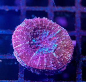 Warpaint Scolymia Small - Corals Fish and Beyond