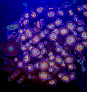Zoanthid and Palythoa Combo Rock 13 **Indonesia** WYSIWYG - Corals Fish and Beyond