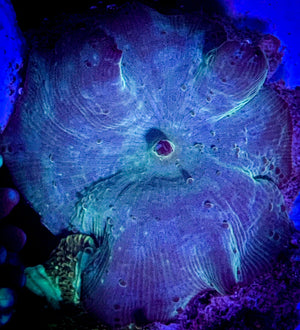 Electric Blue Disco Mushroom WYSIWYG #3 - Corals Fish and Beyond