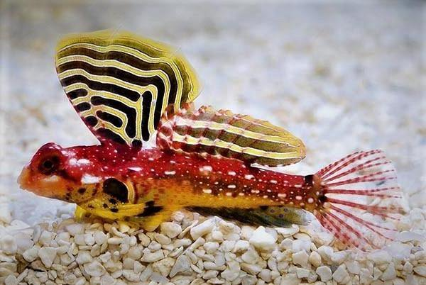 Ruby Red Scooter Dragonet (Synchiropus sycorax)
