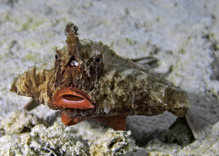 Walking Long-nose Bat-Fish (Ogcocephalus Corniger)