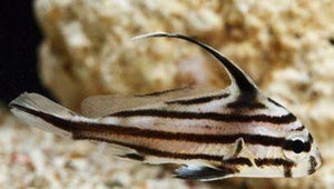 High Hat Drumfish (Equetus acuminatus)