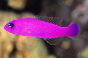 Purple Dottyback (Pseudochromis porphyreus) - Corals Fish and Beyond