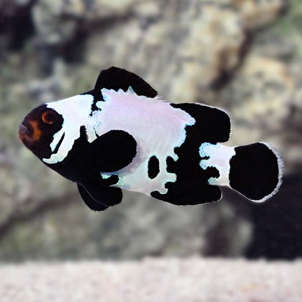 Black Phantom Snowflake Clownfish (Amphiprion Ocellaris) *Aquacultured*