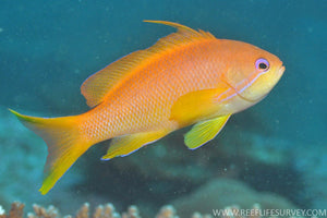Orange Lyretail Anthias (Pseudanthias Cheirospilos/Squamipinnis)