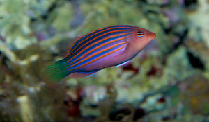 Six Line Wrasse (Psudeocheilinus Hexataenia) - Corals Fish and Beyond