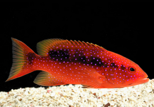 Red Louti Grouper (Variola louti) - Corals Fish and Beyond