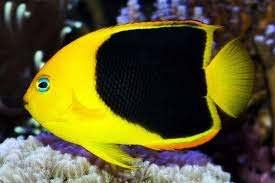 Rock Beauty Angelfish (Holacanthus Tricolor)