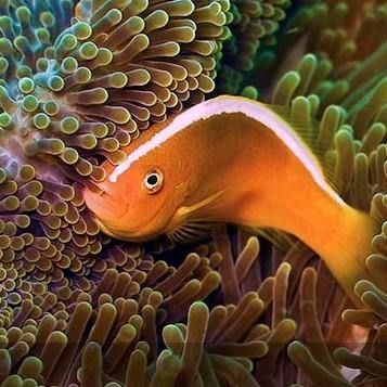 Pink Skunk Clownfish (Amphiprion Akallopisis) *Aquacultured*
