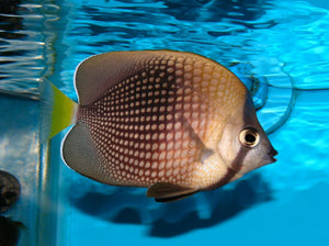Tahitian Butterfly Fish (Chaetodon Trichrous) - Corals Fish and Beyond