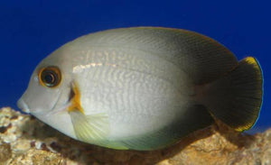 Mimic Half Black Tang (Acanthurus chronixis)
