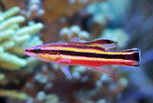 Rainbow Basslet (Liopropoma Fasciatum) - Corals Fish and Beyond