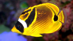 Racoon Butterfly Fish (Chaetodon Lunula)