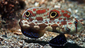 Two Spot Goby (Signigobius biocellatus) - Corals Fish and Beyond
