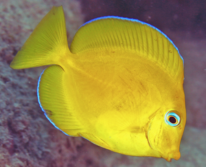 Atlantic Blue Phase Tang (Acanthurus coeruleus) - Corals Fish and Beyond