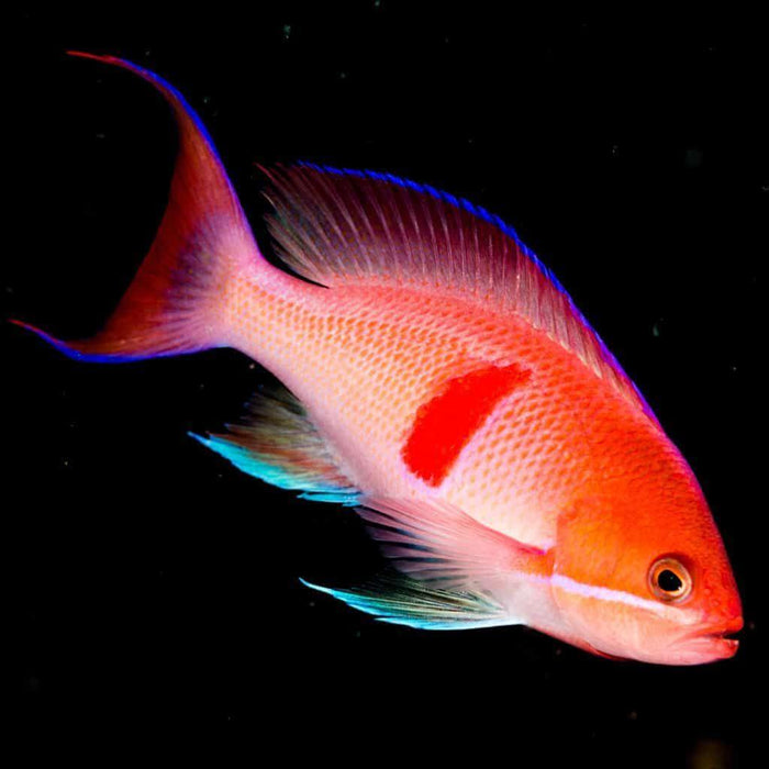 Red Belted Anthias (Pseudanthias rubrizonatus)
